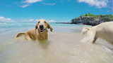 Dogs Shaking off Water at the Beach in Slow Motion. Golden Retrievers.