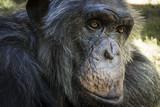 Portrait of a Chimpanzee 04