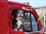 A small long haired black and white dog is going for a ride in a big red truck looking out of the window.