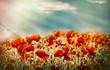 Beautiful (wild) poppy flowers