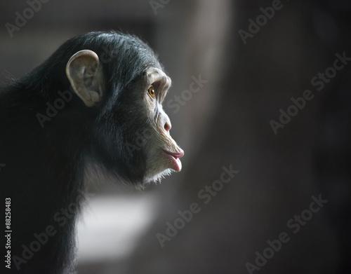 Poster, Tablou Surprised chimpanzee