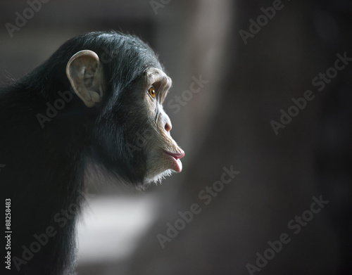 Plagát, Obraz Surprised chimpanzee