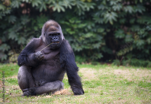 Poster Gorilla sitting on a grass