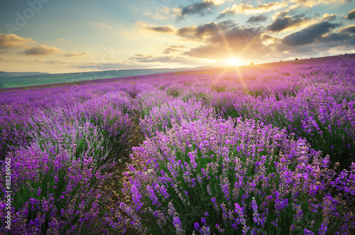 Fototapety, obrazy : Meadow of lavender.
