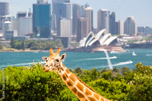 Papiers peints Sydney Taronga Zoo Giraffes