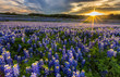 Texas bluebonnet field in sunset at Muleshoe Bend