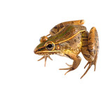 Southern Leopard Frog Seated Isolated on White