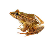 Sitting Southern Leopard Frog Isolated on White