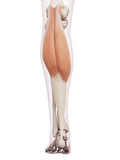 medically accurate muscle illustration of the gastrocnemius poster