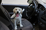 Fototapety Cute Labrador retriever dog in car