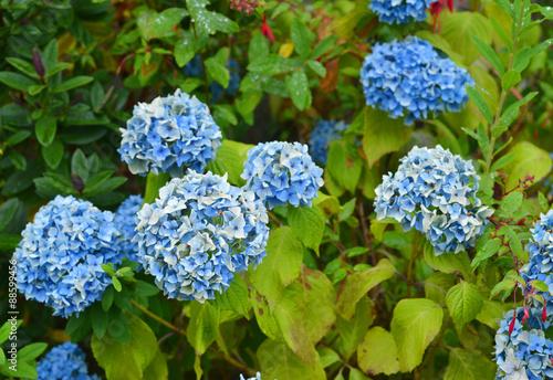 hortensien blau arkivfoton och royaltyfria bilder p. Black Bedroom Furniture Sets. Home Design Ideas