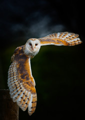 Barn Owl In Flight © shaunwilkinson