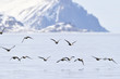 Group of King Eider (Somateria spectabilis) flying above water, with Bylot island in background, Baffin bay, Nunavut, Canada.