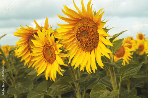 sunflowers on the bleu sky background