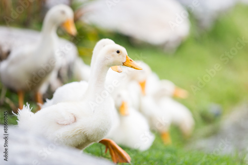 Fotobehang white duck