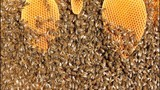 Building instinct bees. Bees are being built all the free cells in the hive space. poster