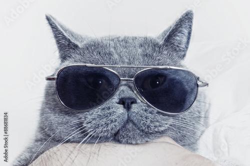 Funny muzzle of gray cat in sunglasses