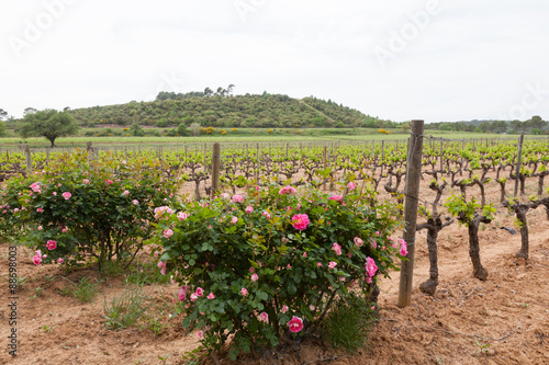 Poster Heuvel Beautiful pink roses blooming in the vineyard in Provence, France.