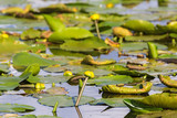 Yellow water lilies on the way to blossom in lake