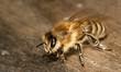 Obrazy na płótnie, fototapety, zdjęcia, fotoobrazy drukowane : Carniolan honey bee (Apis mellifera carnica), Grünwald, Bavaria, Germany