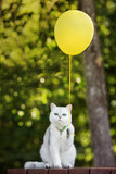 Fototapety adorable british shorthair cat holding a balloon outdoors