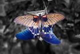 Beautiful colorful Papilio butterflies copulate - 88755474