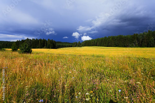 Fototapeta Forest and yellow meadow