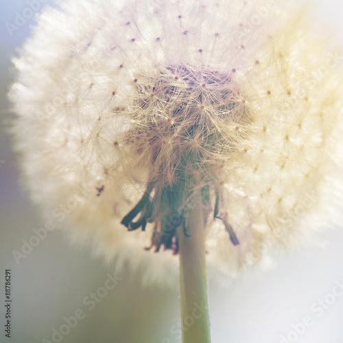 dandelion - 88786291