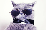 Portrait of British shorthair gray cat wearing sunglasses - Fine Art prints