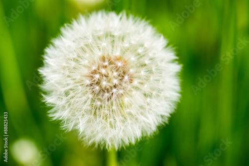 Dandelion on green grass bokeh background close-up © pe3check