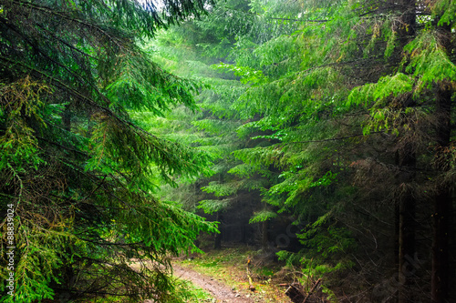 In the Carpathian spruce forest in the rain