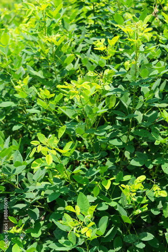 Lespedeza japonica bailey Poster