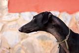 Primer plano perro de carreras. Perro de raza pura. Galgo español.