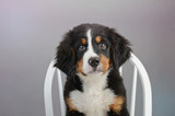 Sweet Bernese Mountain Dog Puppy