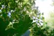 Bur Oak (Quercus macrocarpa) Leaves in the Summer