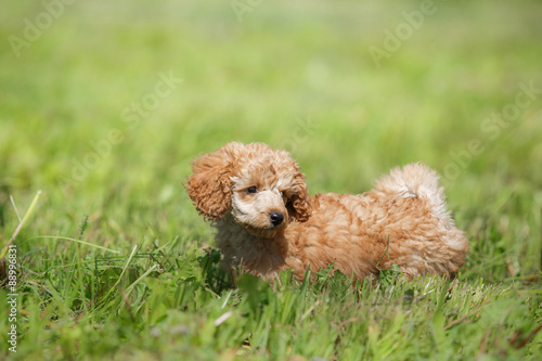 Red toy poodle puppy © annaav