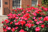Knock Out Roses in Full Bloom