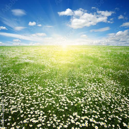 Fototapeta daisy flowers