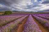 Fototapety One of the most beautiful sights in Tasmania during December and January is Bridestowe Lavender Estate.