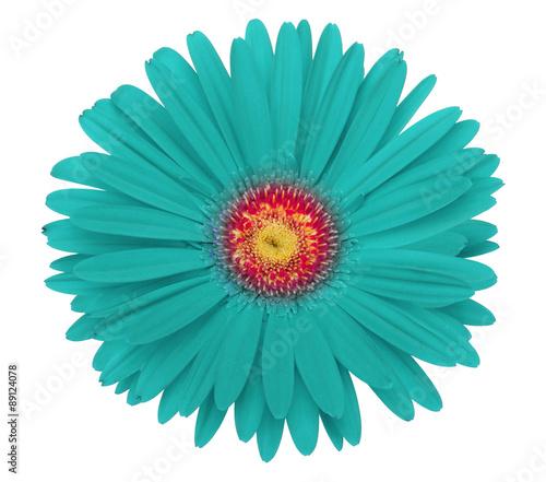 Plexiglas Gerbera turquoise gerbera flower