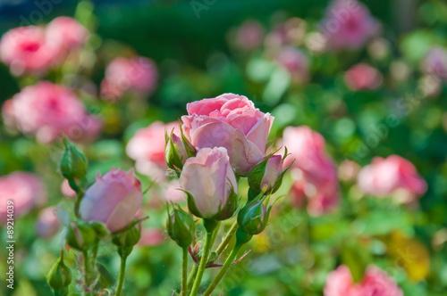 Zdjęcia na płótnie, fototapety, obrazy : Pink roses