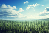 Fototapety fir tree forest in sunny day