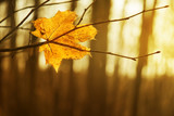 Fototapety dry autumn leaf stuck in forest