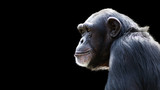 close up portrait of a daydreaming chimpanzee on a black background - 89248043