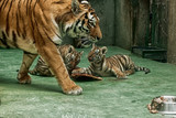 tigress with cubs during feeding poster