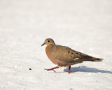 Zenaida Dove Walks on the Beach in the Yucatan, Mexico