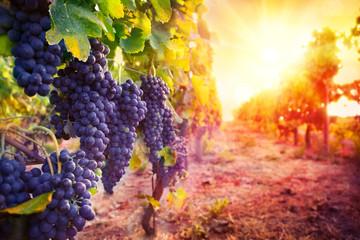 Fototapeta winorośl w promieniach słońca