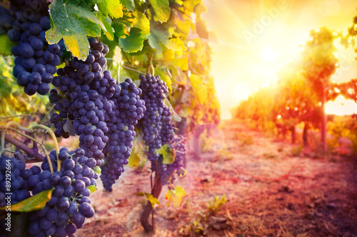 Plakat vineyard with ripe grapes in countryside at sunset