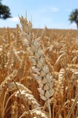 Getreideähre auf einem Feld in Melbourne (Derbyshire, UK)