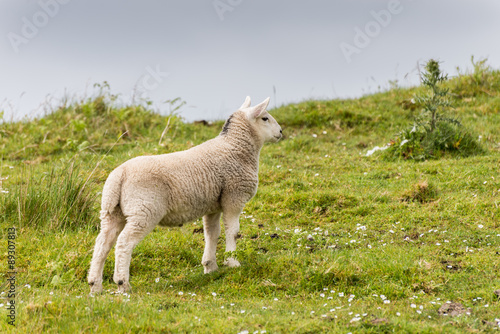 Sheep and lambs in the grasslands, Scotland Poster
